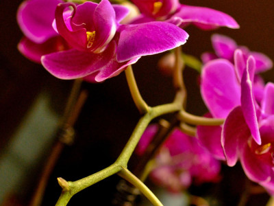 Amy's Orchid