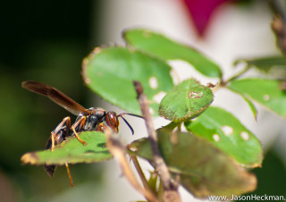 Wasp on Roses